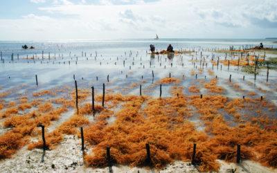 Seaweed_farm_uroa_zanzibar copy