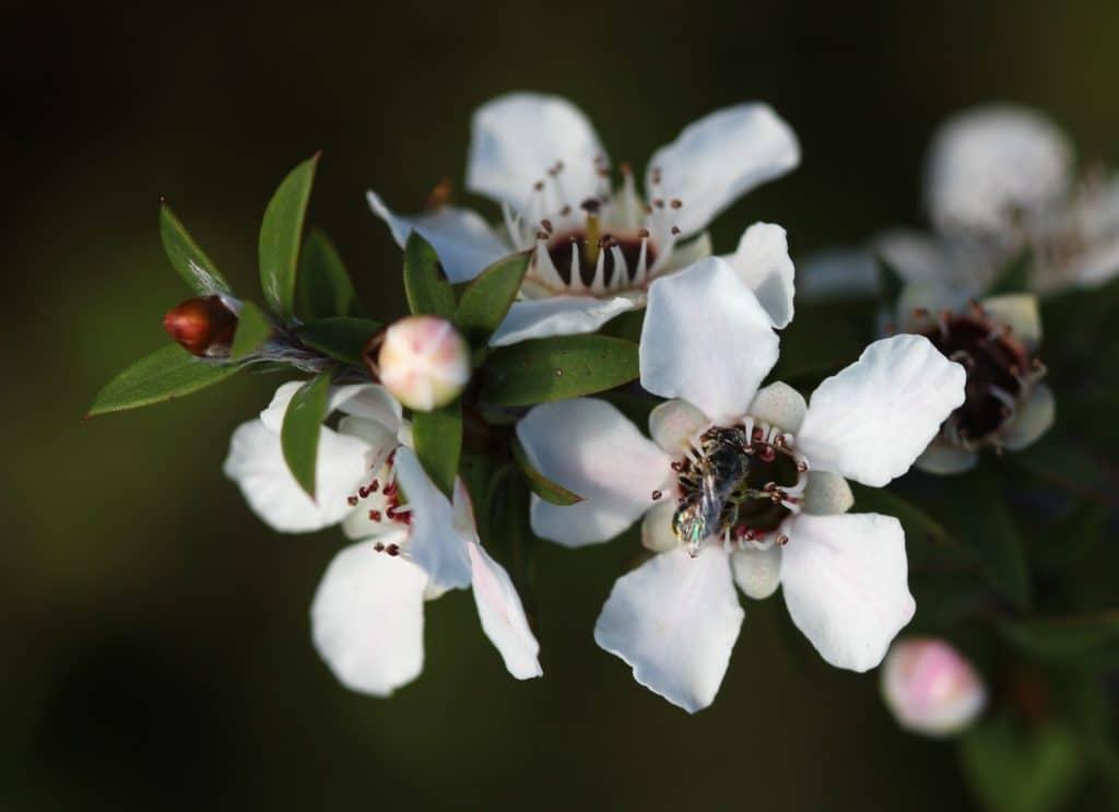 Manuka_flowers_and_native_bee-1024x743