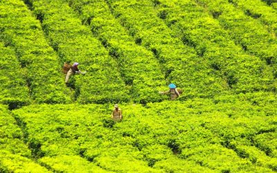 tea-pickers-2278542_1920