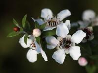 800px-Manuka_flowers_and_native_bee