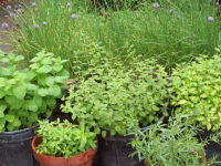 Herbs-in-containers