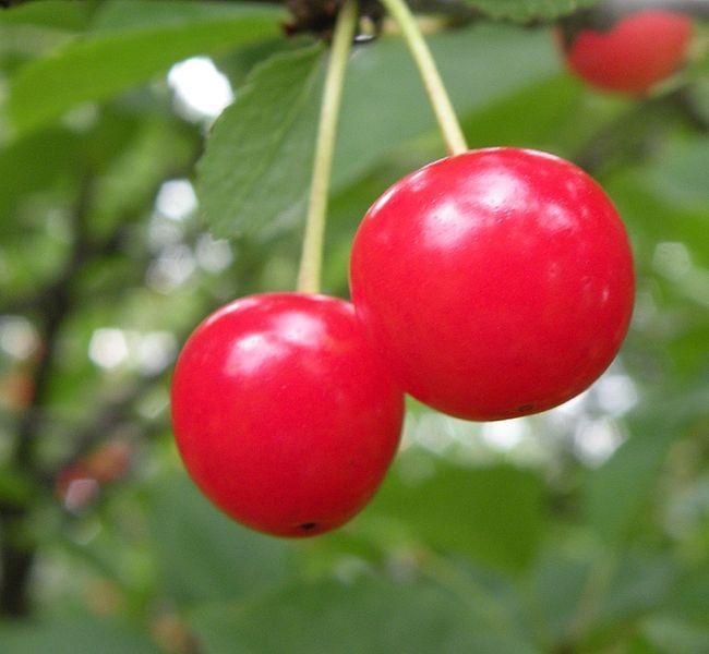 Montmorency_cherries_(3648681426)