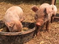 pig - high res