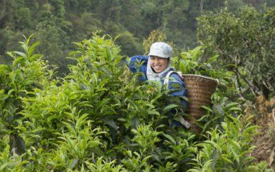 361_green tea picker