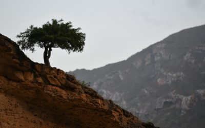 A majestic Boswellia sacra in Wadi Afhoar