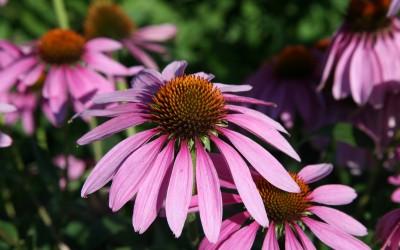 CH_Echinacea_purpurea