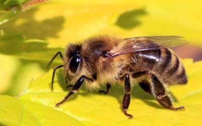 Honey_bee_(Apis_mellifera)